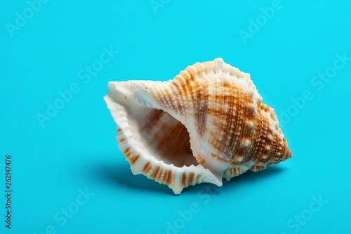 Fotografija conch shell on a blue background