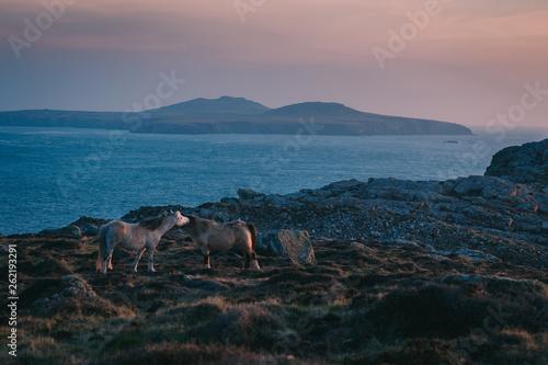 Carta da parati Two Wild Ponies at sunset on St Davids Head, Pembrokeshire