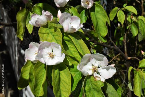 Foto Fleurs de cognassier