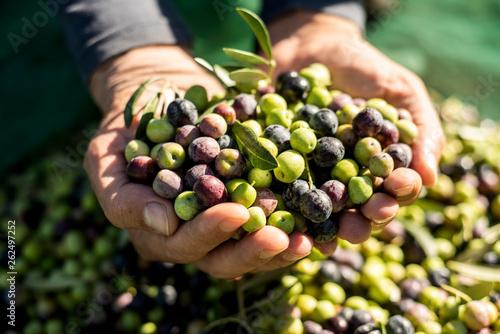 harvesting olives in Spain. Fototapeta