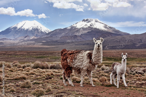 Canvas Print A bably llama and it's mother look into the lens with a mountain in the backgrou