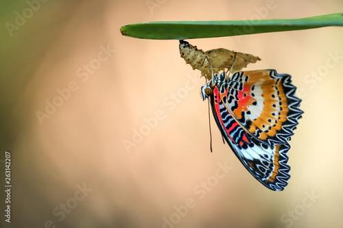 Foto Leopard Lacewing Butterfly on Chrysalis in the garden.