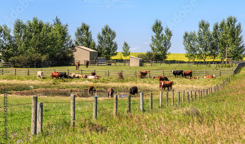 Vászonkép Cows and horse grazing, drinking and resting in a paddock