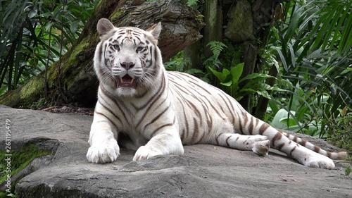 Fotografering White tiger (Panthera tigris) resting in the jungle