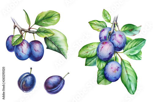 Photo Collection of watercolor plum tree branches with green leaves and fruits