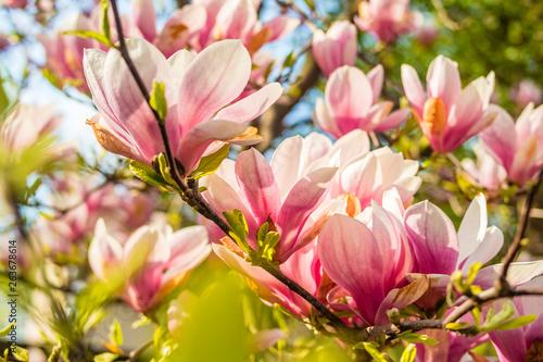 Fototapeta Pink magnolia tree blossom against blue sky