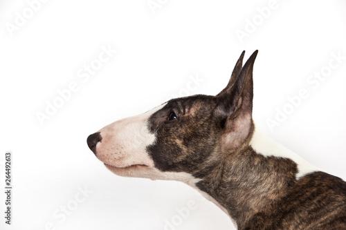 Fotografija Dog breed mini bull terrier portrait on a white background in profile