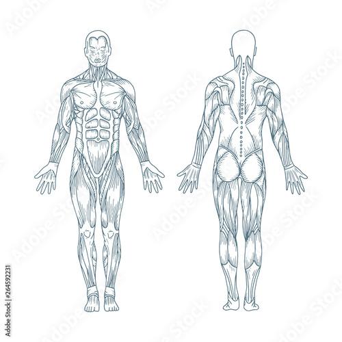 Cuadros en Lienzo Human anatomy