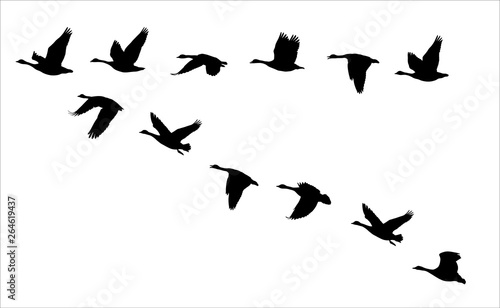 Obraz na płótnie flying canadian geese Canada Goose