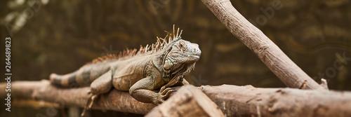 Carta da parati iguana lizard crawling through the branches in the zoo