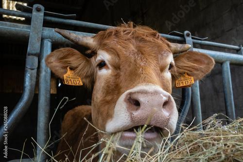 Tête d'une vache qui mange  en gros plan Fototapete
