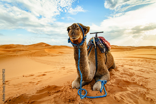 Photo Dromedary camel in Sahara desert, Merzouga, Morocco