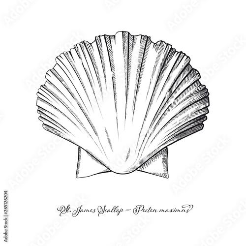 Fotomural St James Scallop vintage engraving style vector illustration
