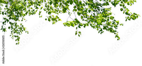 Cuadros en Lienzo Birch twigs with the young green leaves hang down isolated on white