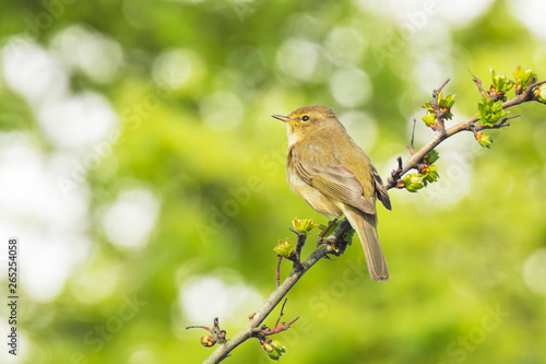 Obraz na plátně Willow warbler bird, Phylloscopus trochilus, singing