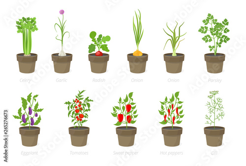 Fotografie, Obraz Growing vegetables in a pot