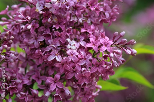 Valokuvatapetti Blooming lilac close-up