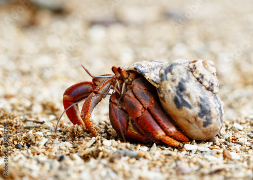 Obraz na płótnie Close-up of a hermit crab (Coenobitidae) wearing a shell shell as shelter and ru