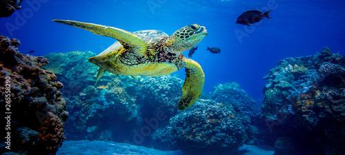 Obraz na plátně Turtles in Hawaii on the reef