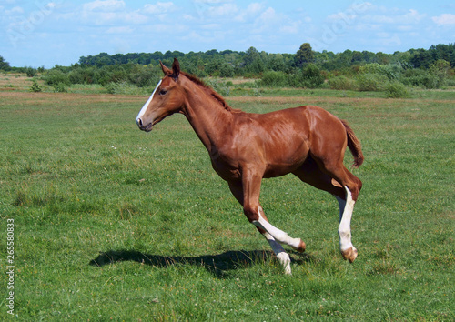Canvas-taulu The chestnut foal with white legs gallops on a meadow