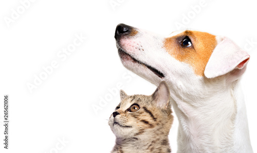 Cute dog Jack Russell Terrier and kitten Scottish Straight side view isolated on white background