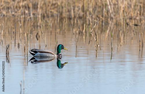 Photo Mallard Duck Swimming in a Wetland Lake in Spring in Latvia