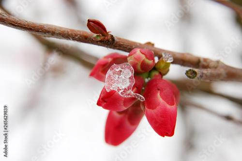 Canvas Gel sur les fleurs en bourgeon du cognassier