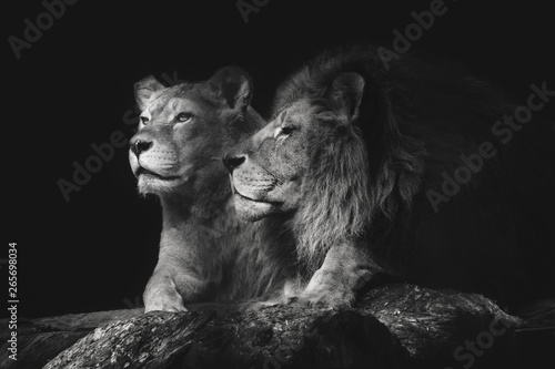 Portrait of a sitting lions couple close-up on an isolated black background. Male lion sniffing female.
