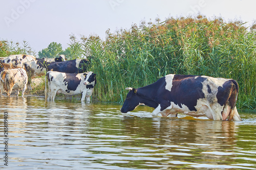 Cows are cooling in the river