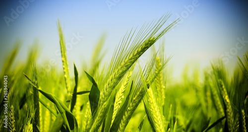 Tableau sur Toile green wheat field
