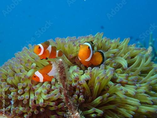 Foto clownfish found at sea anemones at coral reef area at Tioman island, Malaysia