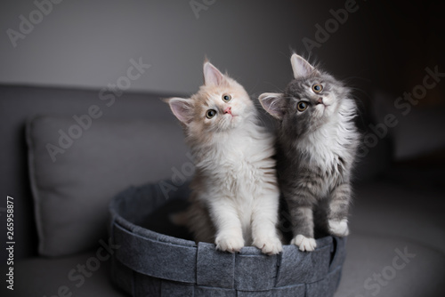Obraz na plátně two playful maine coon kittens standing in pet bed looking into the light  sourc