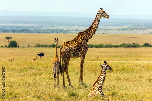 Wallpaper Mural Family of giraffes
