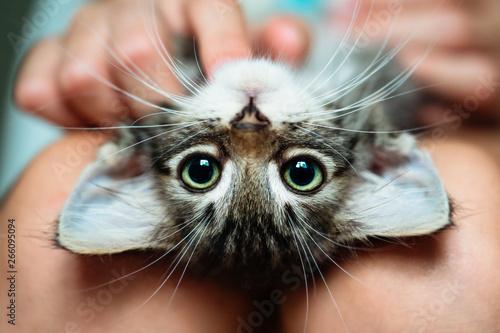 Fotografie, Obraz Cute little kitten lying upside-down in its owner's lap enjoying