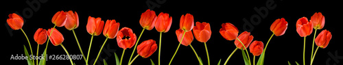 isolated image of tulips flowers close up #266280807