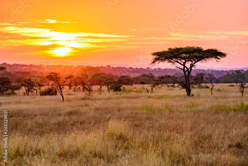 Fotografie, Obraz Sunset in savannah of Africa with acacia trees, Safari in Serengeti of Tanzania