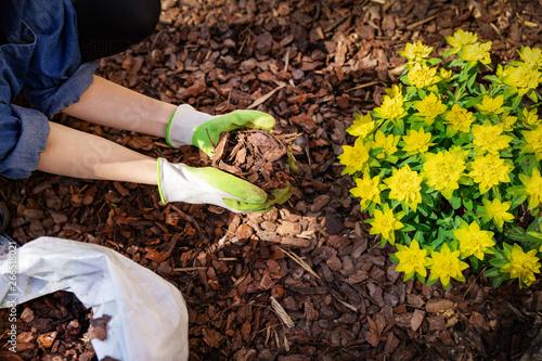 Canvas-taulu gardener mulching flower bed with pine tree bark mulch