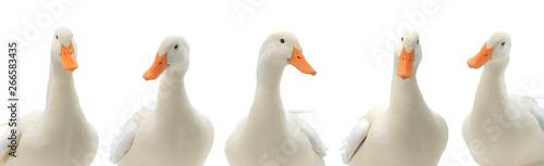 Fotografering portrait five ducks isolated on white