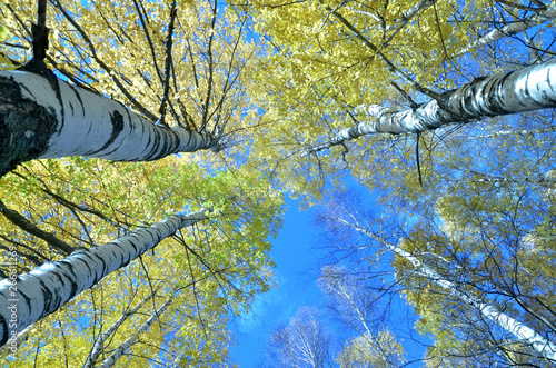 Photo Tall birch trees in the forest under blue sky, bottom perspective view