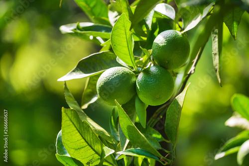 Stampa su Tela lime fruits on the tree