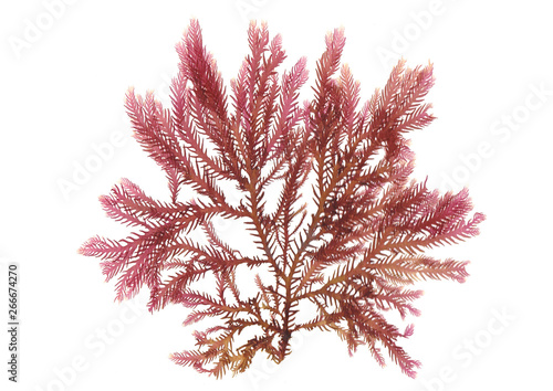 Fotografie, Obraz Pressed beautiful red rhodophyta seaweed
