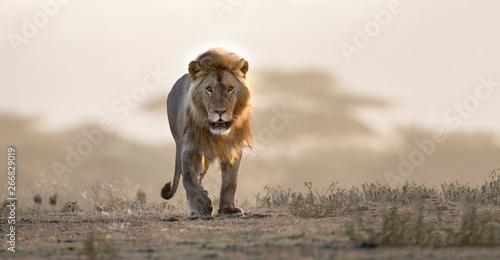 Male lion walking if african landscape