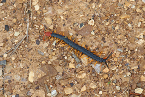 Photo Giant North American Redheaded Centipede (Scolopendra heros)