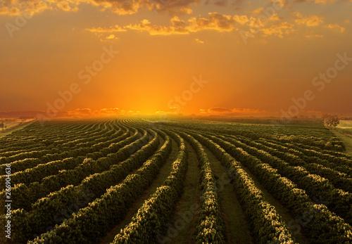 Fototapeta Coffee plantation in sunset day