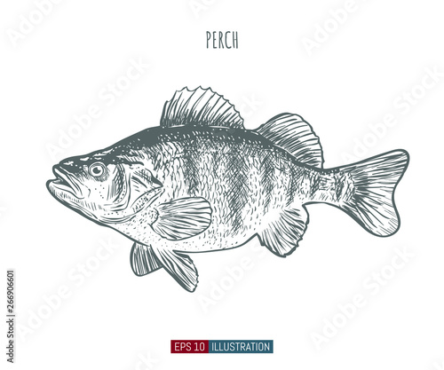 Hand drawn perch fish isolated. Engraved style vector illustration. Template for your design works.