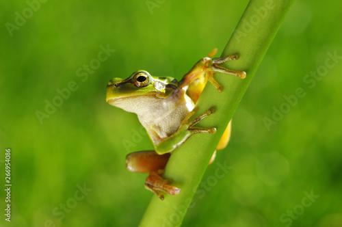 Green tree frog on grass Fototapet