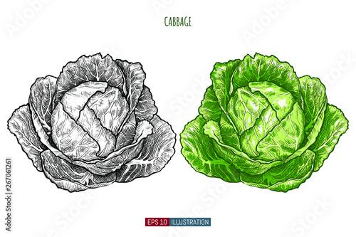 Stampa su Tela Hand drawn cabbage isolated