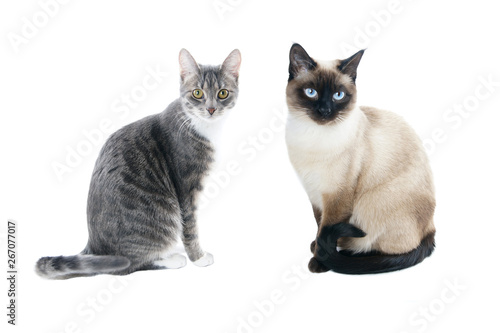 Stampa su Tela silver gray tabby housecat and seal point siamese cat