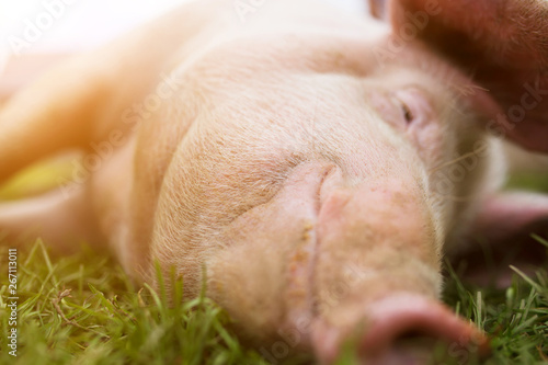 Fotografia Muzzle and nose of a pink pig on the grass in full frame