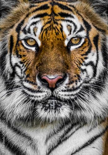 Fotografia tiger with dramatic tone